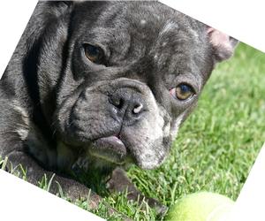 French Bulldog Litter for sale in HILLSBORO, OR, USA