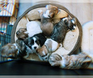 Jack Russell Terrier-Shih Tzu Mix Litter for sale in BROCKTON, MA, USA