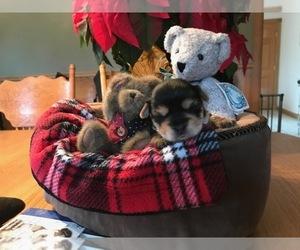 Yorkshire Terrier Litter for sale in BURRILLVILLE, RI, USA