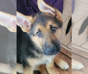 German Shepherd Dog Litter for sale in PICKERINGTON, OH, USA