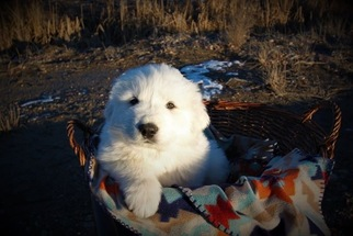 Great Pyrenees Litter for sale in PAYETTE, ID, USA