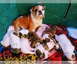 English Bulldog Litter for sale in SPANAWAY, WA, USA
