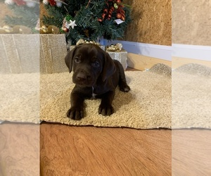 German Shorthaired Lab Litter for sale in CASSVILLE, MO, USA