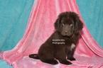 Newfoundland Puppy For Sale in MILLERSBURG, IN, USA