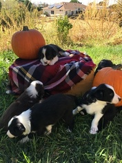 Border Collie Puppy For Sale in GUSTINE, CA, USA