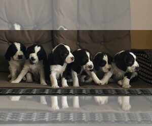 English Springer Spaniel Litter for sale in NORTH PLATTE, NE, USA