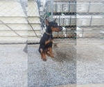Doberman Pinscher Puppy For Sale in SANTA ANA, CA, USA