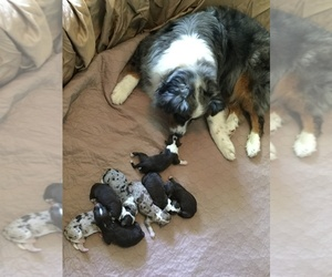 Aussiedoodle Litter for sale in BURKESVILLE, KY, USA