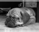 Small Photo #1 Jug Puppy For Sale in ORRVILLE, OH, USA