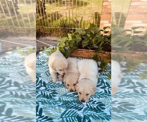 Golden Retriever Litter for sale in MAGNOLIA, TX, USA