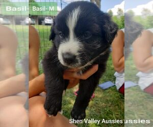 Australian Shepherd Litter for sale in HARRISONBURG, VA, USA
