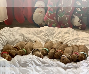 Golden Retriever Litter for sale in CONCORD, IL, USA