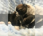 Shih Tzu Puppy For Sale in LEHIGHTON, PA, USA