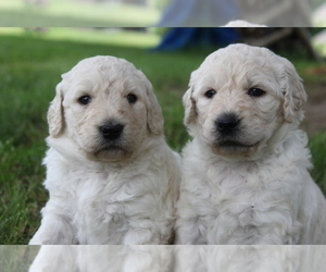 Goldendoodle Litter for sale in TURIN, NY, USA