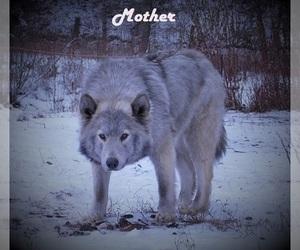 Wolf Hybrid Litter for sale in SAINT IGNATIUS, MT, USA