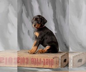 Doberman Pinscher Litter for sale in ONARGA, IL, USA
