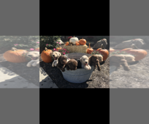 Labradoodle Litter for sale in KOKOMO, IN, USA