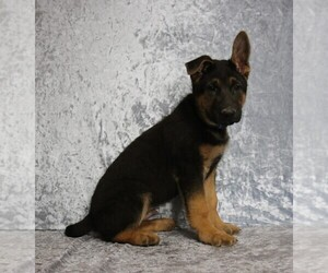 German Shepherd Dog Litter for sale in PAW PAW, MI, USA