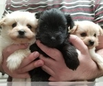 Small Photo #1 Pom-A-Nauze Puppy For Sale in CANBY, OR, USA