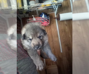 German Shepherd Dog Litter for sale in ELBERTON, GA, USA