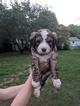 Bernedoodle Puppy For Sale in SPRINGFIELD, MO, USA