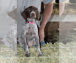 German Shorthaired Pointer Puppy For Sale in SANGER, CA, USA