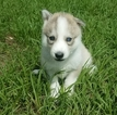 Siberian Husky Puppy For Sale in ORLANDO, FL, USA