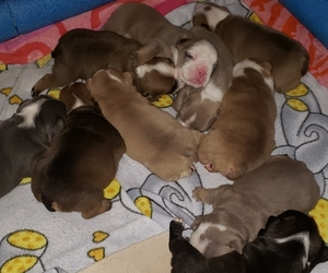 English Bulldog Litter for sale in MOORE, OK, USA