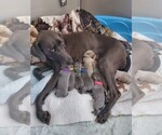 Weimaraner Puppy For Sale in GIRARD, OH, USA