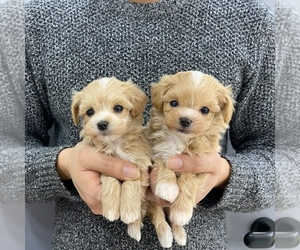 Maltipoo Litter for sale in REDLANDS, CA, USA