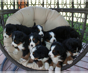 Bernese Mountain Dog Litter for sale in BONNERS FERRY, ID, USA