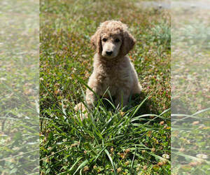Poodle (Standard) Litter for sale in CHANTILLY, VA, USA