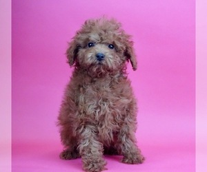Poodle (Toy) Litter for sale in WARSAW, IN, USA