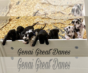 Great Dane Litter for sale in MEM, TN, USA