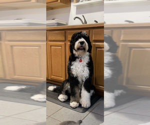 Bernedoodle Litter for sale in ANCHORAGE, AK, USA