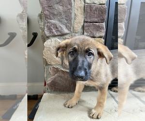 German Shepherd Dog Litter for sale in MOORESVILLE, NC, USA