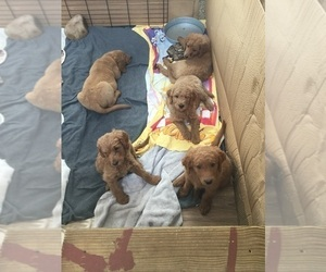 Goldendoodle Litter for sale in MONUMENT, CO, USA