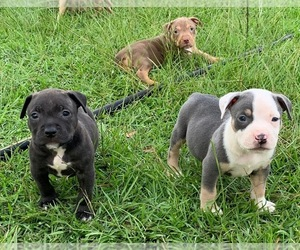 American Bully Litter for sale in FORT VALLEY, GA, USA
