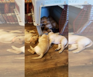 Labrador Retriever Litter for sale in LOVELAND, CO, USA