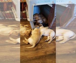 Labrador Retriever Litter for sale in LOVELAND, CO, USA