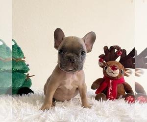 French Bulldog Litter for sale in HIALEAH, FL, USA