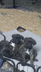 Cane Corso Puppy For Sale in AVONDALE, AZ, USA