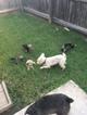 Schnauzer (Miniature) Puppy For Sale in FRISCO, TX, USA