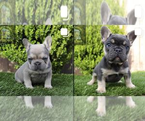 French Bulldog Litter for sale in ARLINGTON, CA, USA