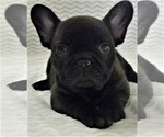 French Bulldog Puppy For Sale in REDMOND, OR, USA
