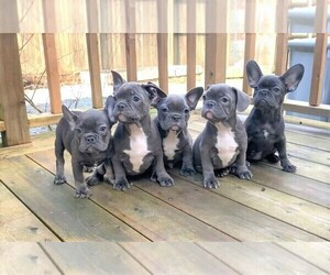 French Bulldog Litter for sale in BITTER LAKE, WA, USA