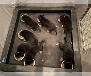 German Shepherd Dog Litter for sale in RICHLAND, MO, USA