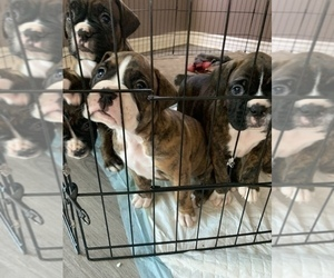 Boxer Litter for sale in NORCO, CA, USA