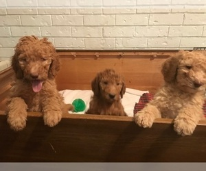 Poodle (Standard) Litter for sale in FORT WORTH, TX, USA