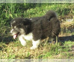 View Ad: Wolf Hybrid Litter of Puppies for Sale near Montana